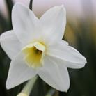 Narcissus 'Silver Chimes' (jonquilla daffodil bulbs)