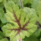 Tiarella 'Iron Butterfly (PBR)' (Foam flower)