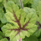 Tiarella 'Iron Butterfly (PBR)' (Foam flower)