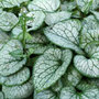 Brunnera macrophylla 'Jack Frost (PBR)' (Siberian bugloss)