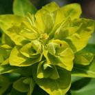 Euphorbia cornigera (spurge)