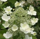 Hydrangea paniculata 'Tardiva' (hydrangea)