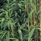 Pseudosasa japonica (arrow bamboo 'japonica')