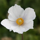 Anemone sylvestris (snowdrop anemony, snowdrop windflower)
