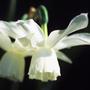 Narcissus 'Thalia' (triandrus daffodil bulbs)