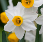 Narcissus canaliculatus (species daffodil bulbs)