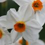 Narcissus 'Geranium' (tazetta daffodil bulbs)
