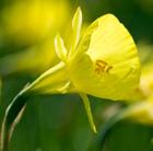 Narcissus bulbocodium conspicous (species daffodil bulbs)