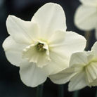 Narcissus 'Easter Moon' (large cupped daffodil bulbs)