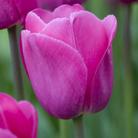 Tulipa 'Barcelona' (triumph tulip bulbs)