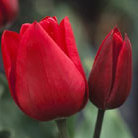 Tulipa 'Red Rover' (triumph tulip bulbs)