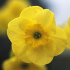 Narcissus 'Sun Disc' (jonquilla daffodil)