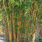 Phyllostachys aureosulcata f. aureocaulis (yellow groove bamboo)