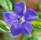 Vinca major (greater periwinkle)