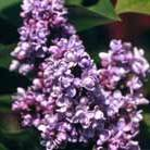 Syringa vulgaris 'Katherine Havemeyer' (common Lilac)