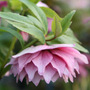 Helleborus x hybridus Harvington  double pink (Lenten rose hellebore)