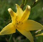 Hemerocallis citrina (daylily)