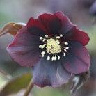 Helleborus x hybridus 'Harvington Shades of the Night' (Lenten rose hellebore)