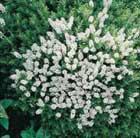 Hebe rakaiensis (shrubby veronica)