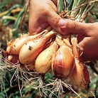 Shallot Jermor Bulbs