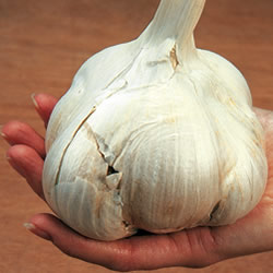 Elephant Garlic