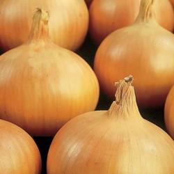 Onion Sets: Sturon (Heat Prepared)