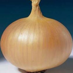 Onion Sets: Stuttgarter Stanfield