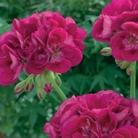 Geranium Zonal Flower Fairy Berry* (5 Young Plants)