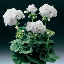 Geranium Zonal Blanca*(5 Young Plants)