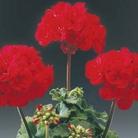 Geranium Zonal Samelia* (5 Young Plants)