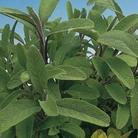Sage Green Leaved Seeds