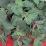 Oregano Seeds - Greek