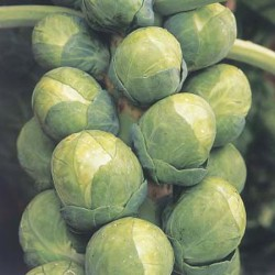 Brussels Sprout Bosworth Seeds