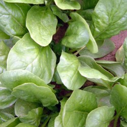 Spinach Tirza Seeds