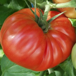 Tomato Country Taste Seeds - Cordon