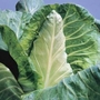 Cabbage Duncan (Spring) Plants