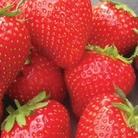 Strawberry Amelia Plants - (Late)