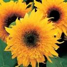 Sunflower Starburst Panache Seeds