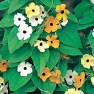 Black Eyed Susan Susie Seed Mix