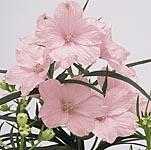 Delphinium Summer Morning Seeds