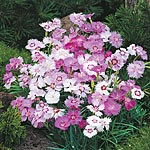 Dianthus Sweetness Mix Seeds