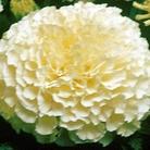 Marigold Cream Crakcer (African) Seeds