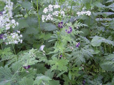 Geraniaceae_geranium_phaeum