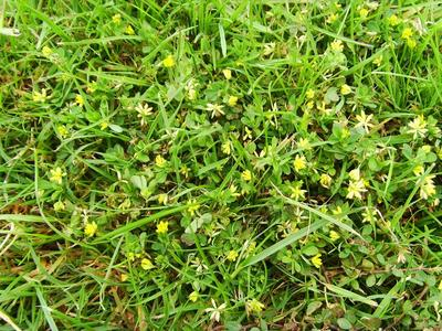 Could someone please identify this lawn weed for me grows on you its a very low growing spreading weed small round leaves with small yellow flowers any advice on how to get rid of it would be most appreciated mightylinksfo