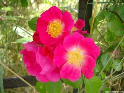 Rose1024