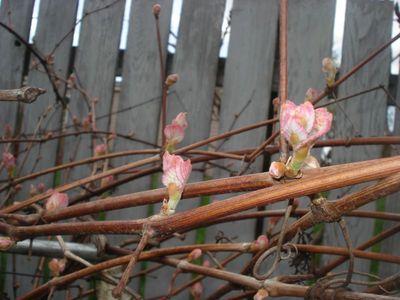 Grapevine_flowers