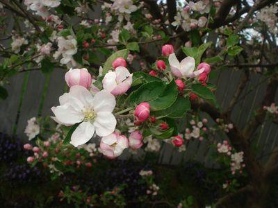 Apple_blossums