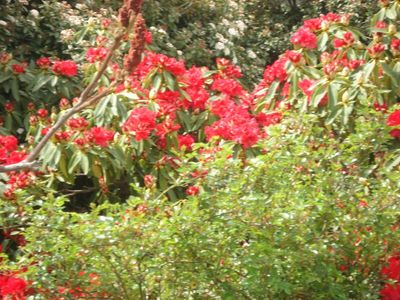 Big_red_rhodie