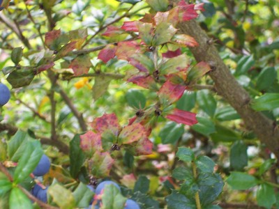 Berberis_calliantha_disease