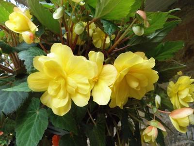 Begonia-05